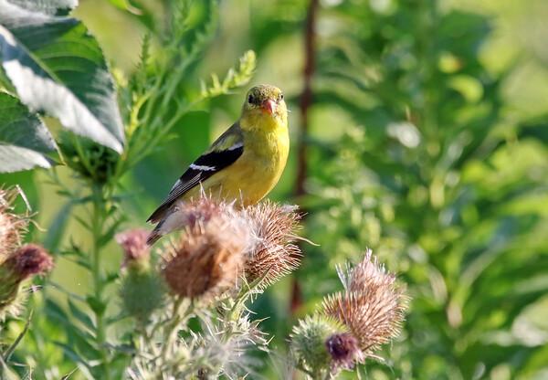 August 8 2016 - Goldfinch