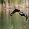 August 22 2016 - Cormorant