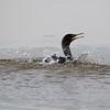 August 3 2016 - Cormorant