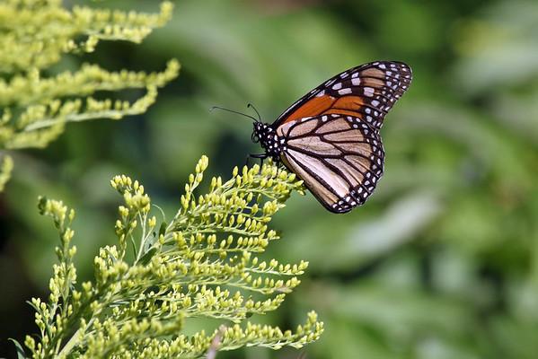 August 29 2016 - Monarch