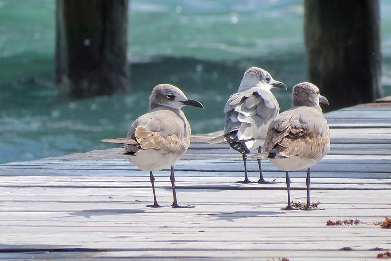 December 26 2016 - Gulls