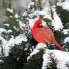 December 22 2016 - Cardinal