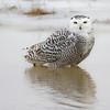 December 1 2016 - Snowy Owl