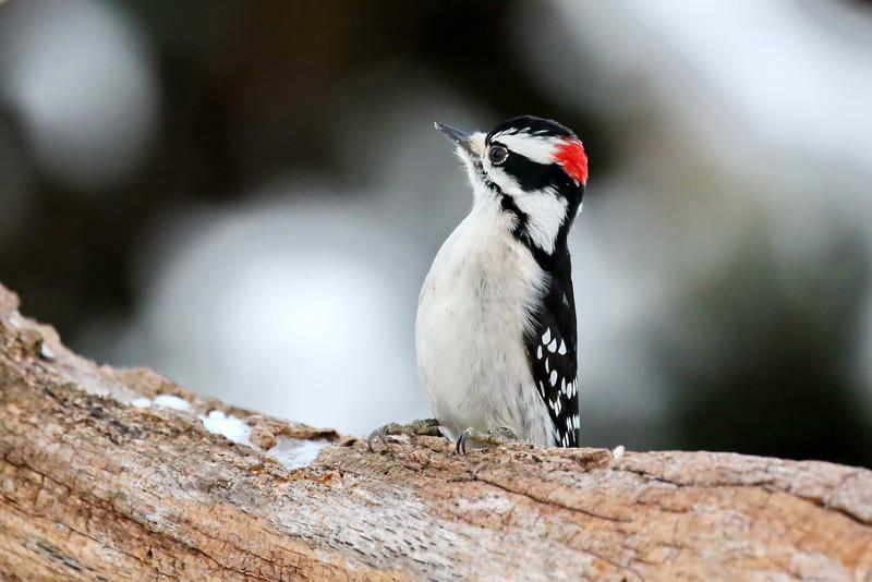 December 25 2016 - Downy Woodpecker