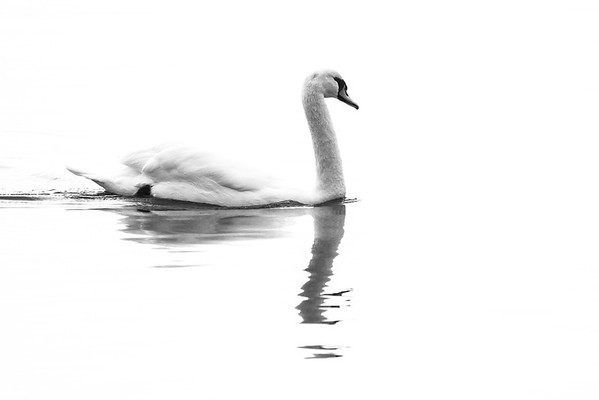 December 8 2016 - Swan