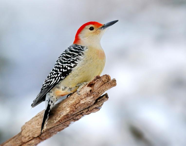 December 29 2016 - Red-Bellied Woodpecker