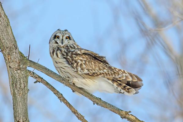 January 15 2016 - Snowy Owl