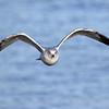 January 29 2016 - Gull