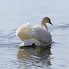 January 18 2016 - Swan