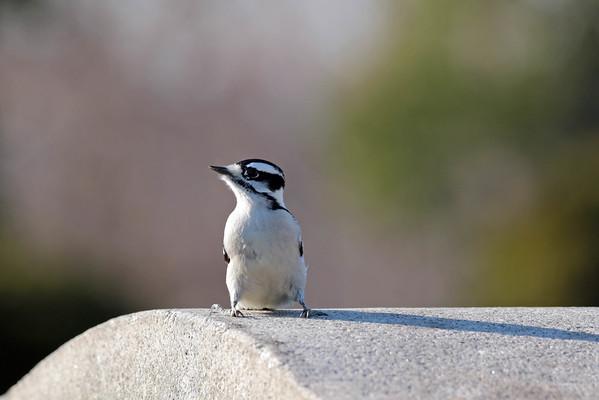 January 16 2016 - Downy Woodpecker