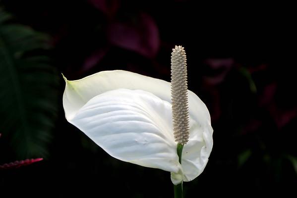 July 13 2016 - Peace Lily
