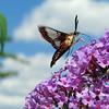 July 28 2016 - Hummingbird Moth