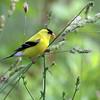 July 26 2016 - Goldfinch
