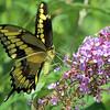 July 29 2016 - Swallowtail