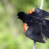 July 10 2016 - Blackbird