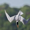 July 9 2016 - Tern Dive