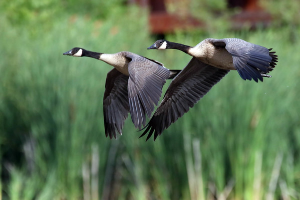 July 21 2016 - Geese
