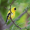 June 5 2016 - Goldfinch