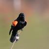 June 3 2016 - Red-Winged Blackbird