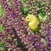 June 10 2016 - Goldfinch