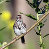 June 15 2016 - Song Sparrow