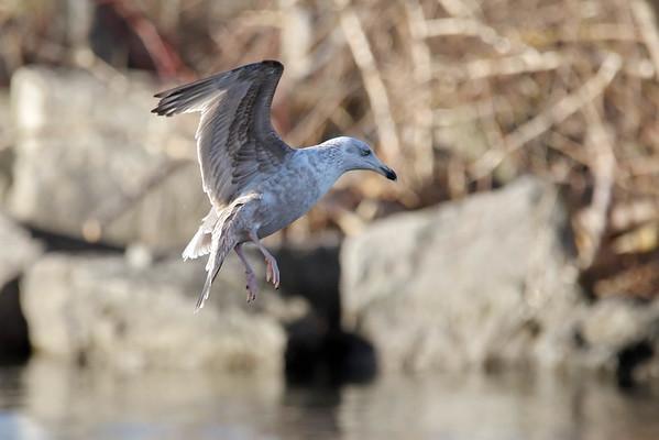 March 21 2016 - Gull