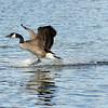 March 7 2016 - Goose Landing