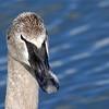 March 6 2016 - Swan