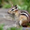 May 23 2016 - Chipmunk