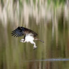 May 25 2016 - Osprey