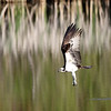 May 21 2016 - Osprey