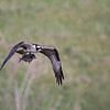 May 12 2016 - Osprey