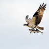 May 17 2016 - Osprey