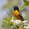 May 20 2016 - Oriole