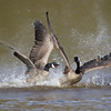 May 13 2016 - Goose Fight