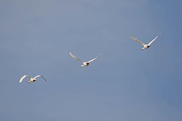 November 24 2016 - Tundra Swans