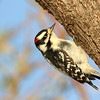 November 3 2016 - Downy Woodpecker