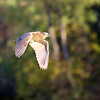 November 8 2016 - Night Heron