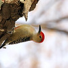 November 15 2016 - Red-Bellied Woodpecker