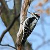 November 18 2016 - Hairy Woodpecker