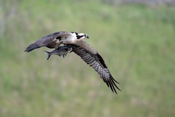 October 26 2016 - Osprey