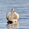 October 30 2016 - Swan