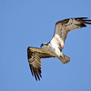 October 2 2016 - Osprey