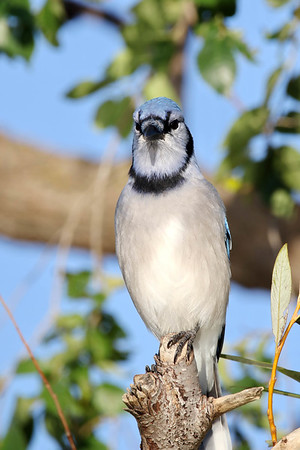 October 7 2016 - Bluejay