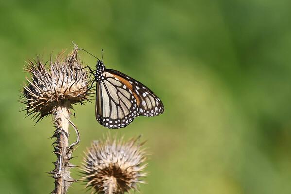 October 3 2016 - Monarch