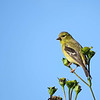 September 15 2016 - Goldfinch
