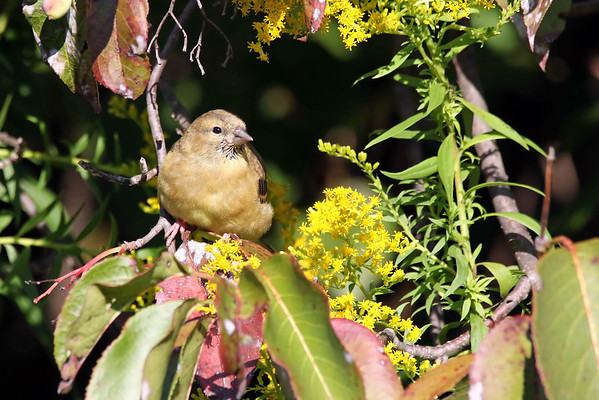 September 19 2016 - Goldfinch