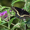 September 10 2016 - Swallowtail