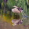 September 14 2016 - Night Heron