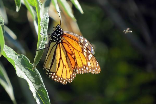 September 16 2016 - Monarch